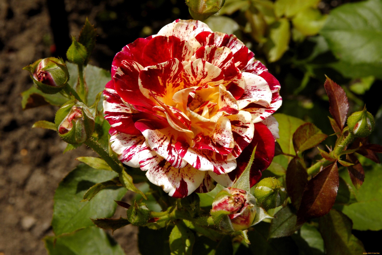Розы пестрой расцветки фото